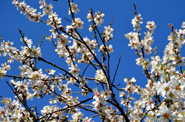 almond blossoms, Jerusalem photo tour