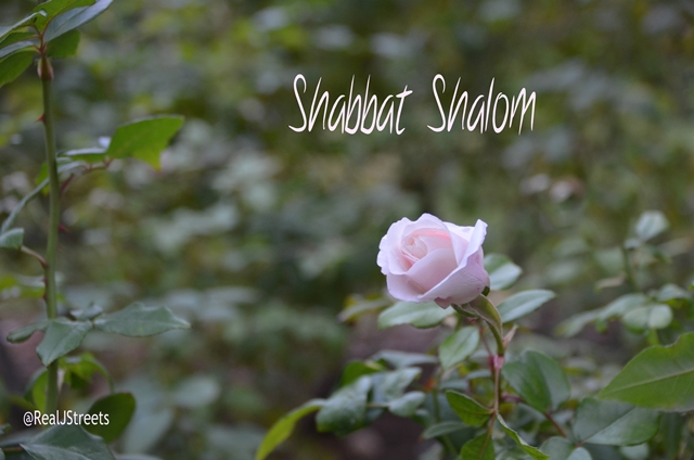 Single rose bud for Shabbat shalom poster