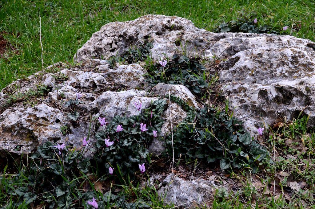 Rakefet growing in stones after winter rain Jerusalem Israel