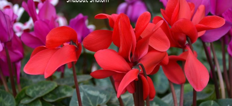 Shabbat Shalom – Our Heritage is to Live
