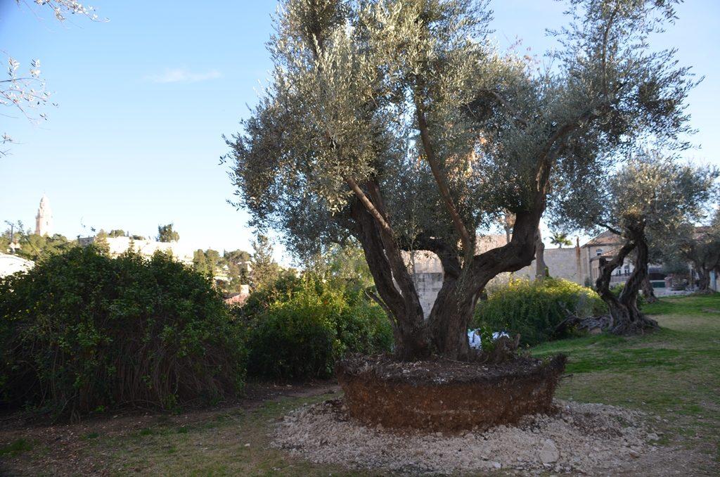 Yemin Moshe tree replanted Jerusalem Israel park