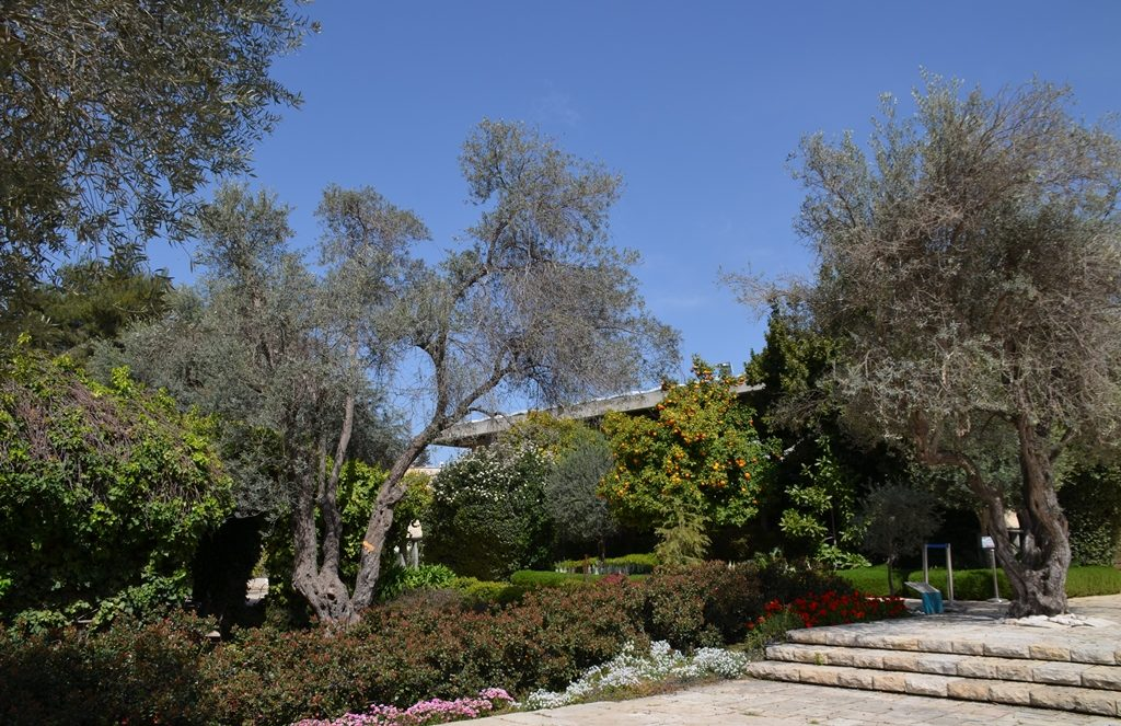 Orange and olive trees in Beit Hanasi gargen