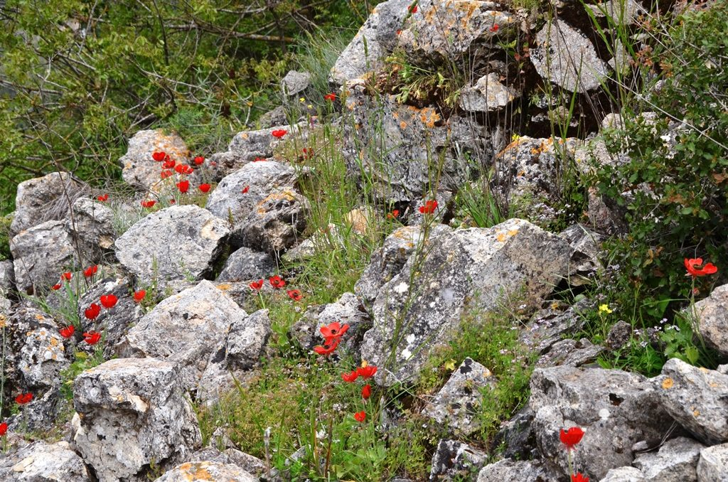 Flowers on trail Nahal Katlav