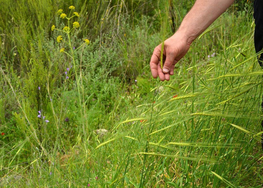 Spring wheat in Jerusalem Hills