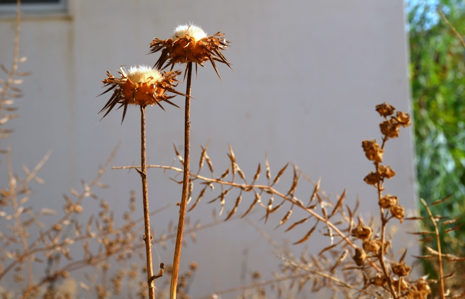 Dried from summer sun weed photo