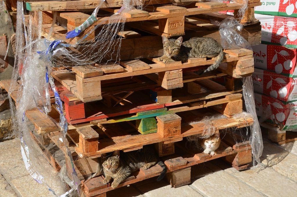 Jerusalem street cats on sunny fall day