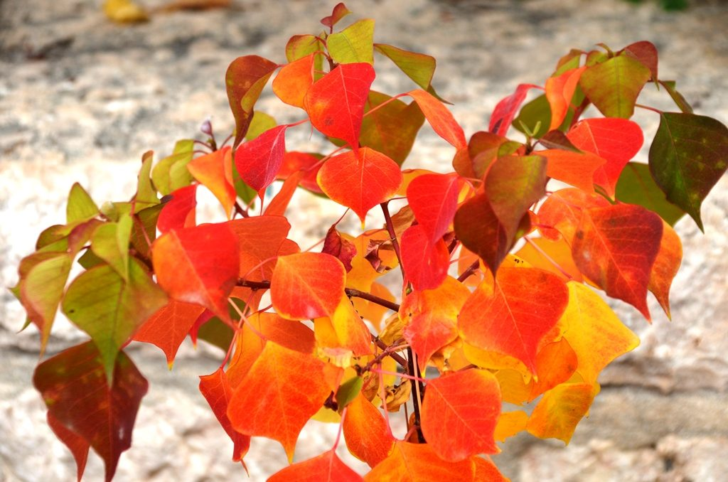 Colorful leaves in Jerusalem, Israel