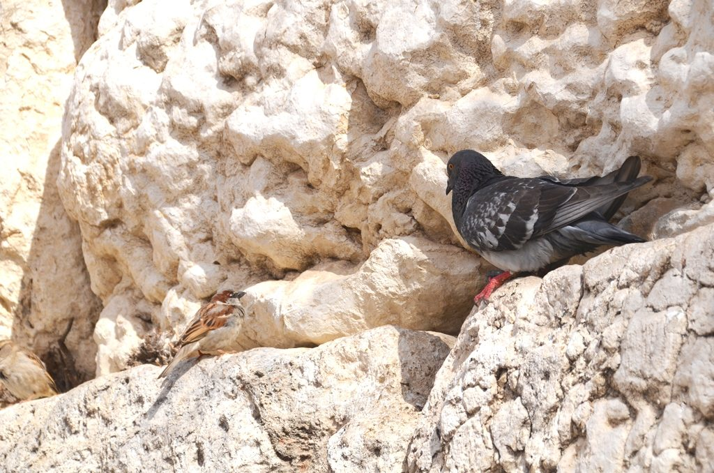 Kotel birds on stones