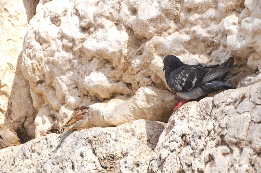 Kotel birds on stones