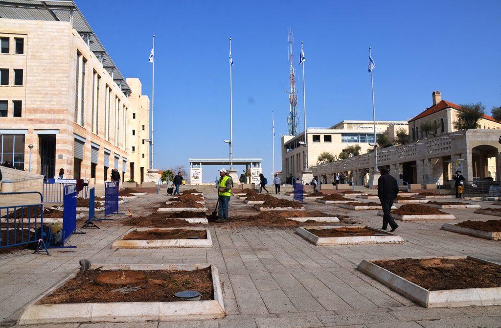 Kikar Safra all palm trees cut down Jerusalem Israel
