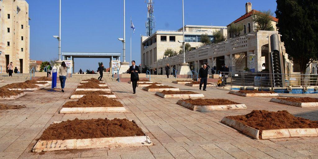 Kikar Safra after diseased palm trees removed
