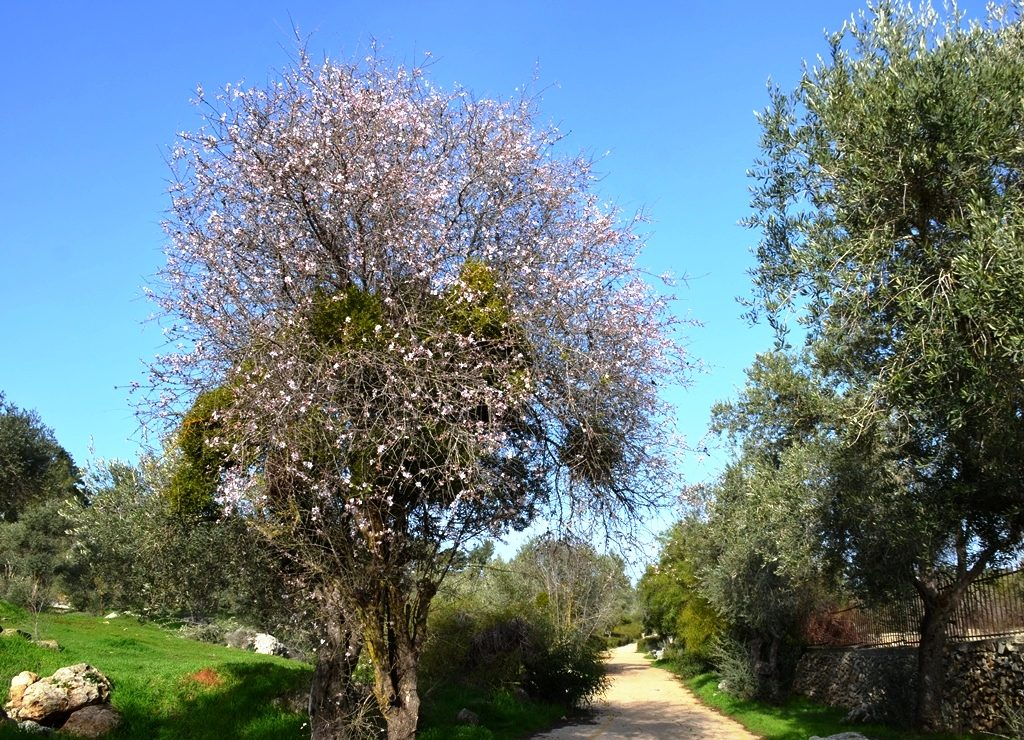 Almond tree blooming in Jerusalem, Israel, in Valley of Cross for Tu Beshvat