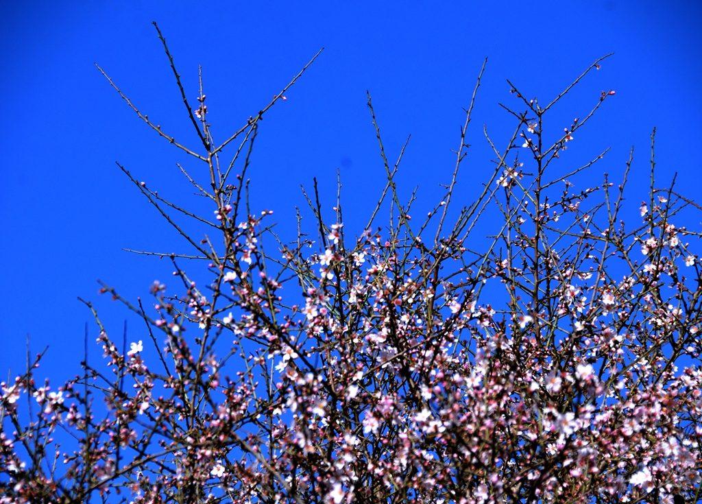 Tu Beshevat almond blossoms Jerusalem Israel