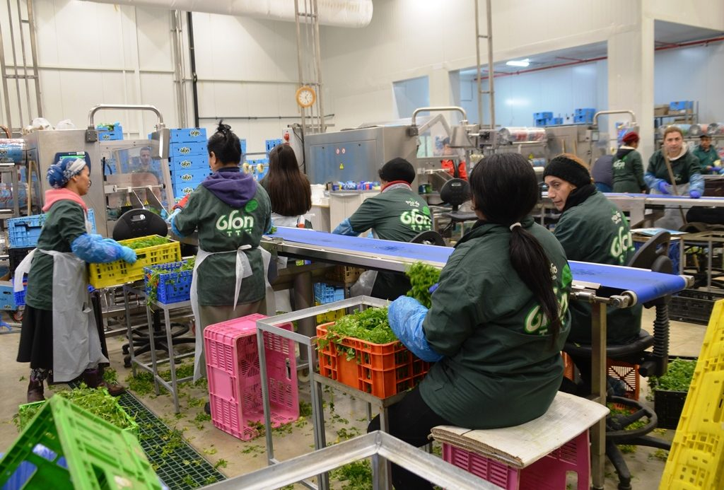 Packing Gush Katif vegetables in southern Israel
