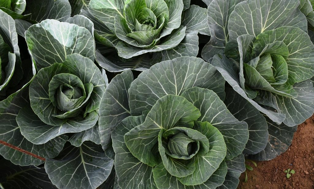 Cabbage in hothouse in Southern Israel for Gush Katif vegetable