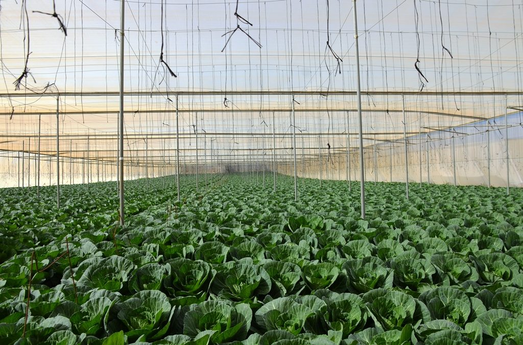 Cabbage growing in hot house in southern Israel