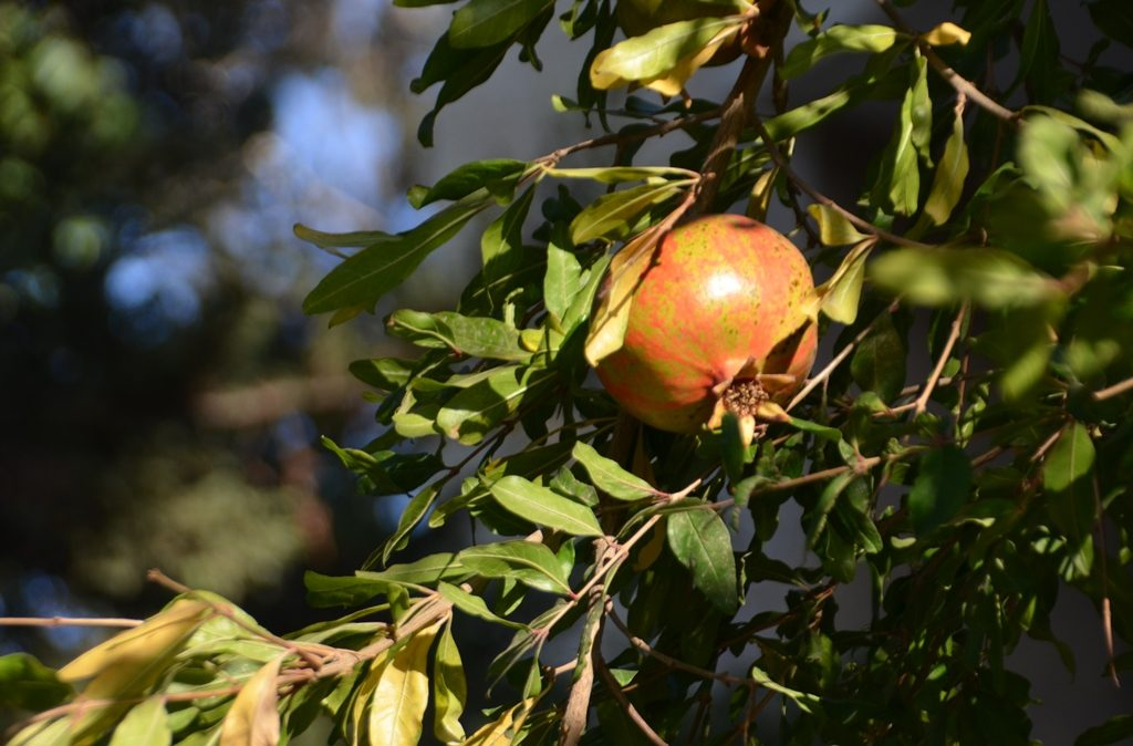 Pomegranate almost ripe on Jerusalem Israel tree