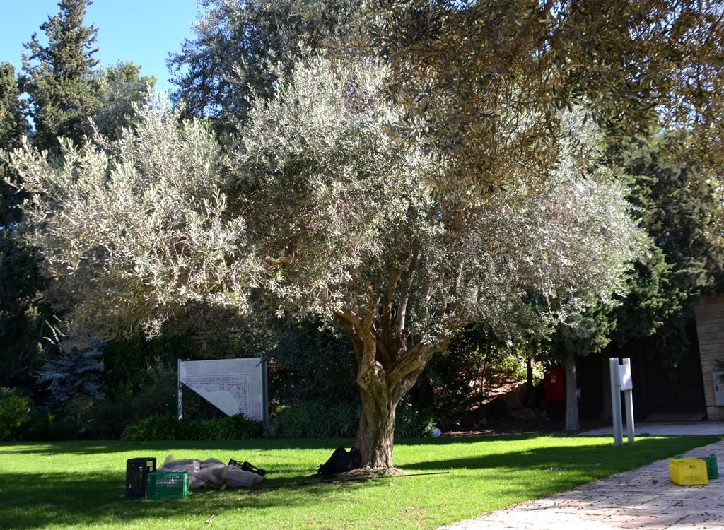 Jerusalem Israel President House Olive tree in back ground