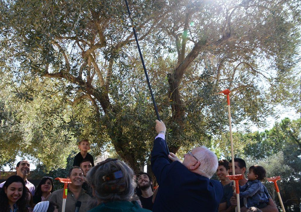 Jerusalem Israel olive harvest