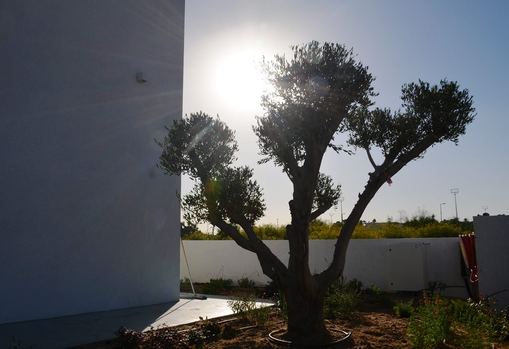 Netiv Ha'Asara new house olive tree as sunset.