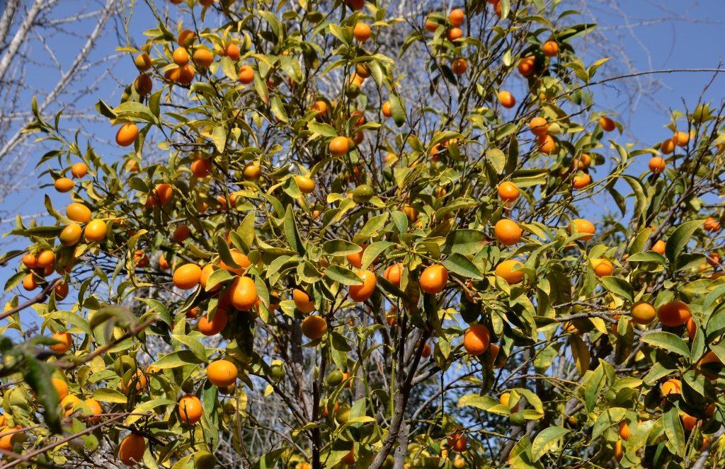 Kumquats ripe at President gardens Jerusalem Israel