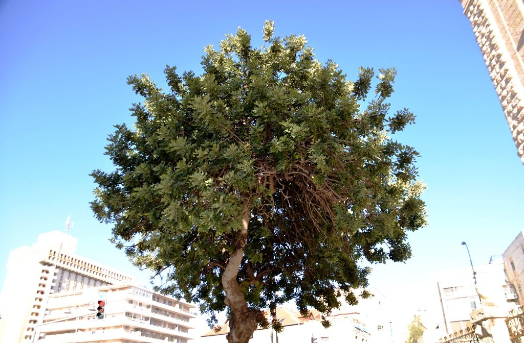 Carob tree near Paris Square in Jerusalem Israel
