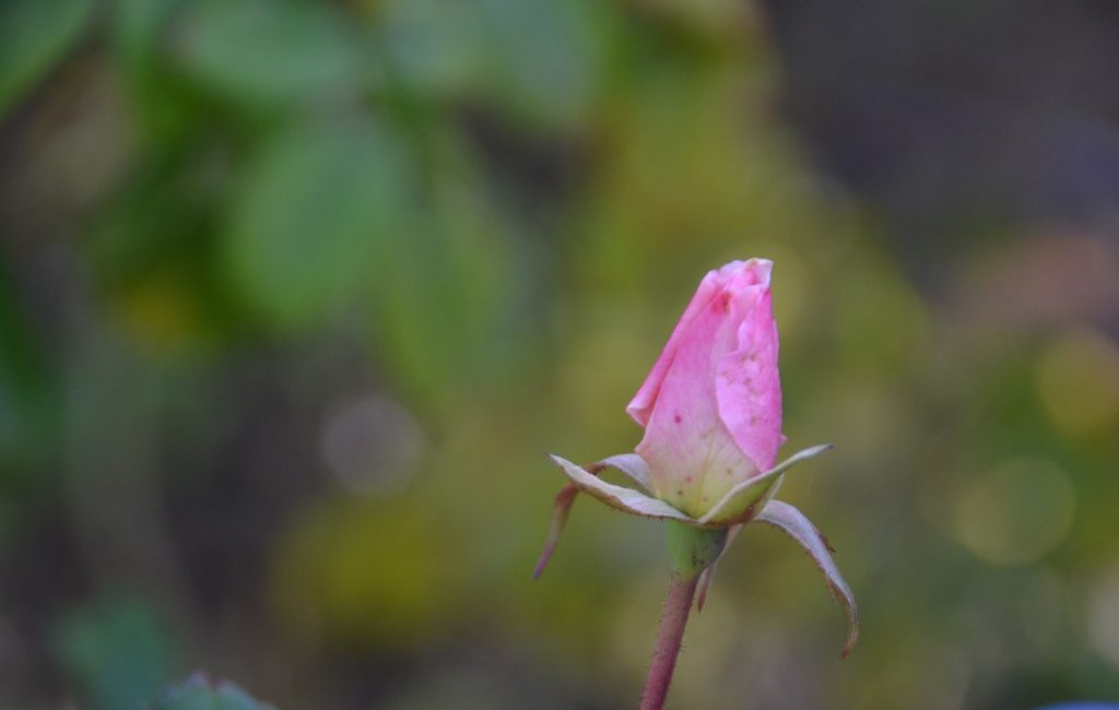 Pink rose bud in jerusalem park