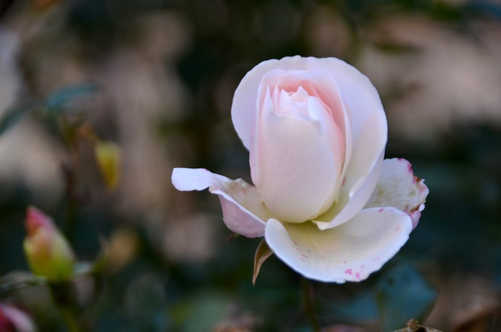 Rose bud in winter in jerusalem