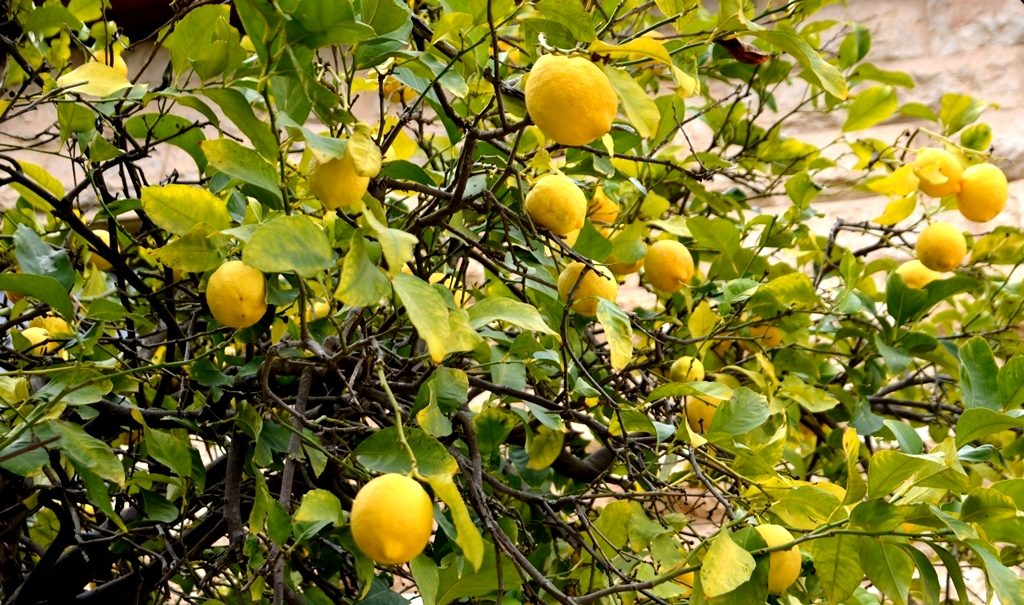 lemon tree in Jerusalem in winter