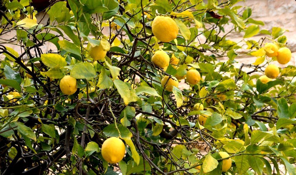 lemon tree in Jerusalem in winter