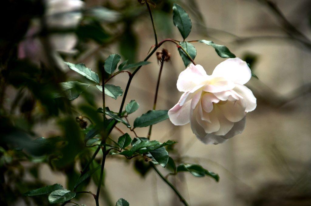 winter rose in Jerusalem Israel