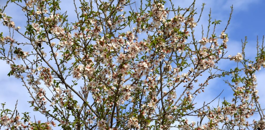 Blooming almond tree in Jerusalem Israel