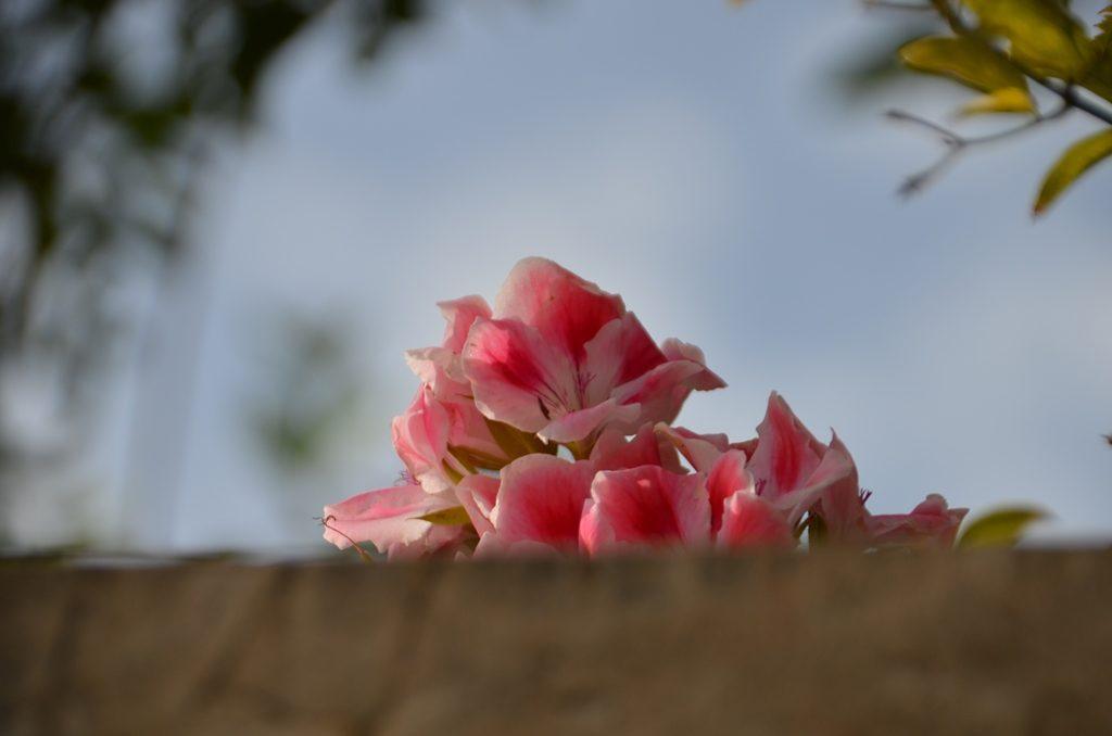 pink flowers in winter in Jerusalem israel
