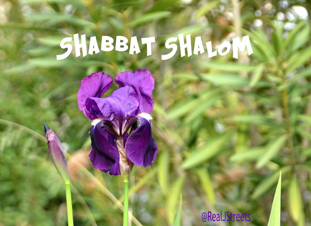 Purple iris bloom for Jerusalem Israel Shabbat shalom