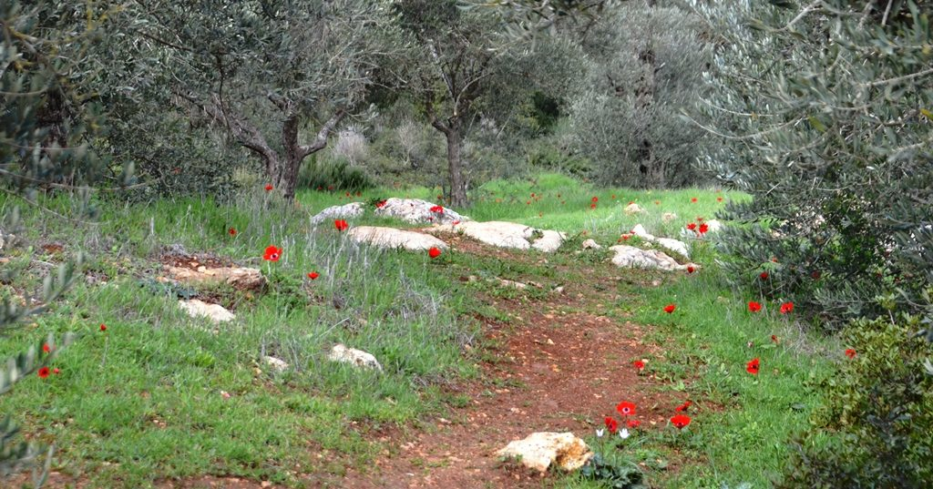 Kalonit blooming in Valley of Cross in Jerusalem Israel