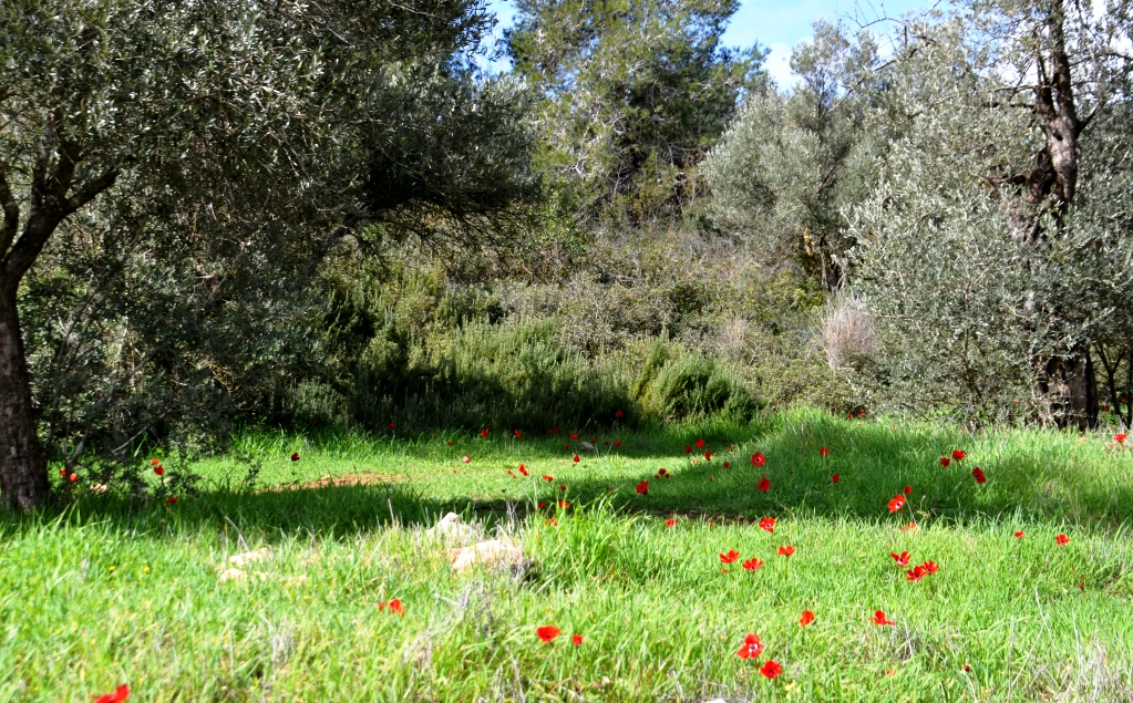 Kalonit blooming in Jerusalem park