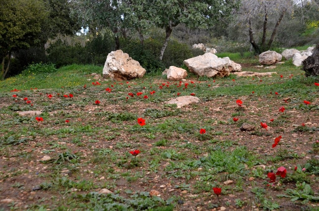 Jerusalem Valley of Cross kalionit blooming