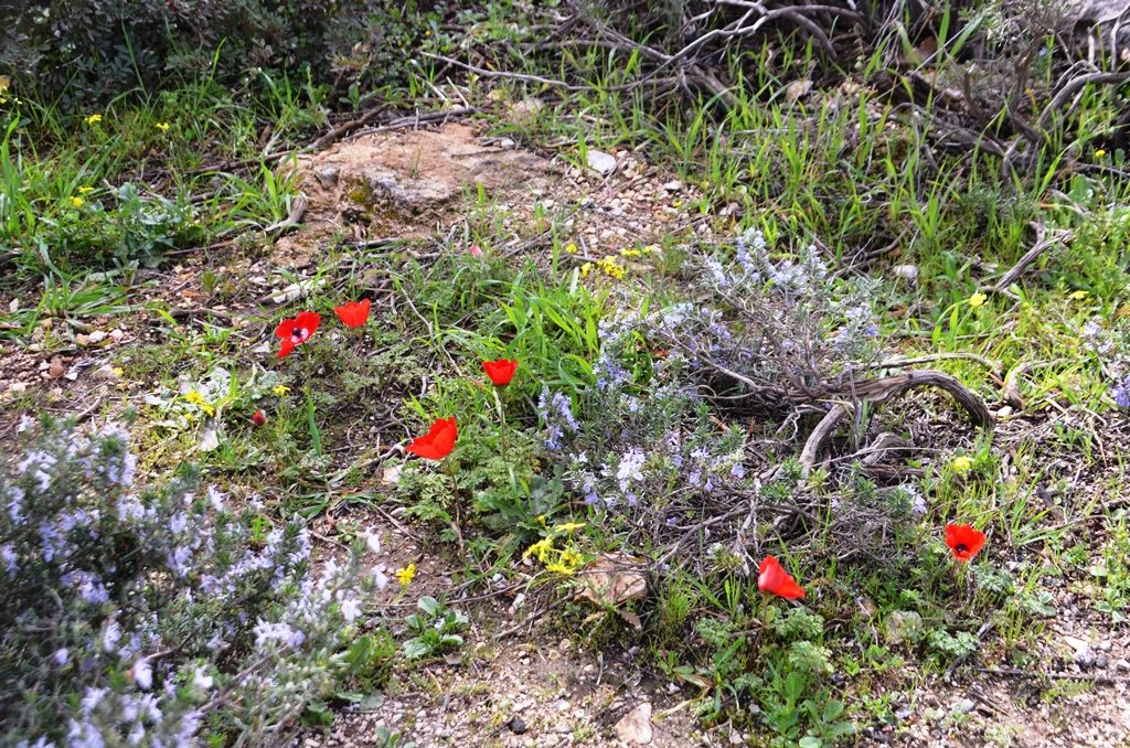 Valley of Cross wild flowers Jerusalem