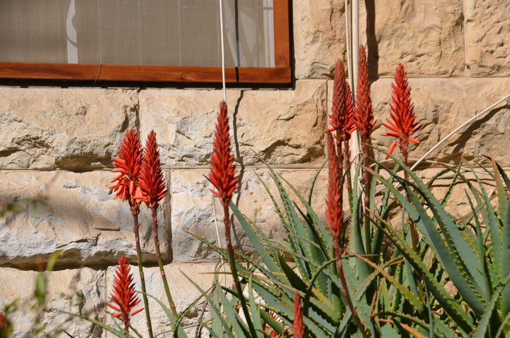 Aloe flowers in bloom in Jerusalem Israel in winter