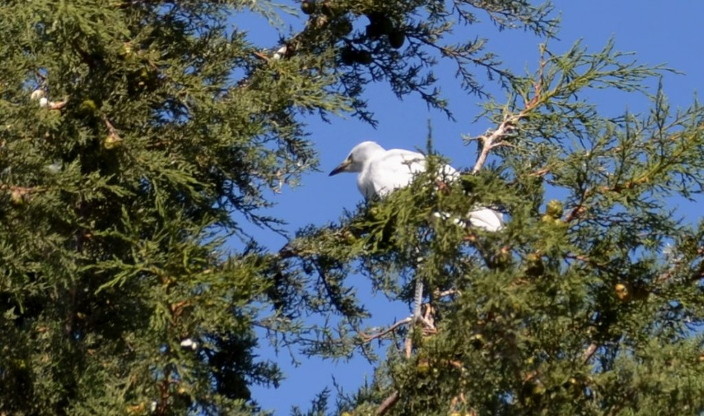 Meron birds in tree above