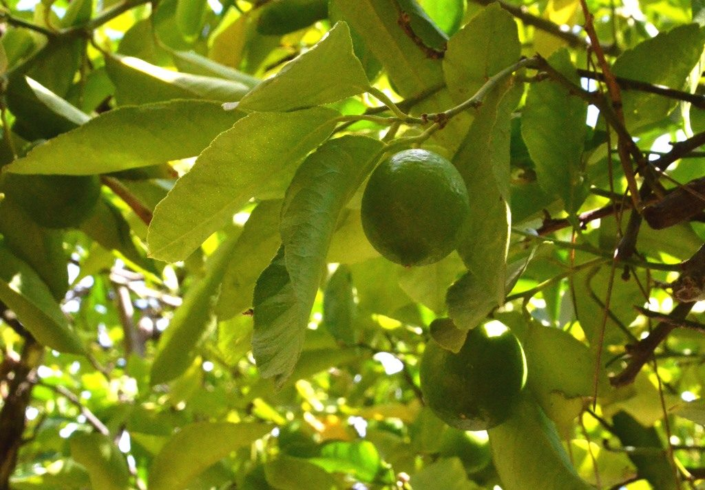 Limes of tree in Jerusalem ready to pick in fall