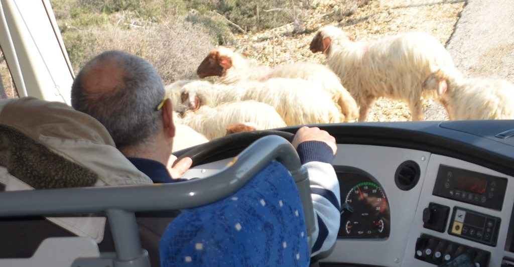 Bus waiting for sheep to cross the road near Israel border with Lebanon