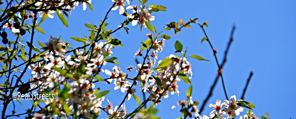 Jerusalem Israel almond blossoms on tree