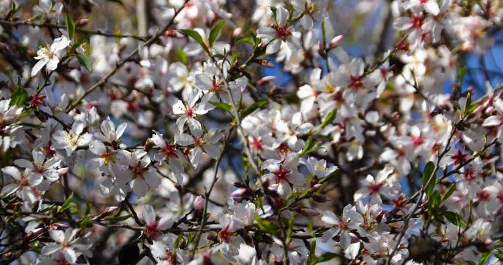 Blossoms on almond tree in katamon Jerusalem