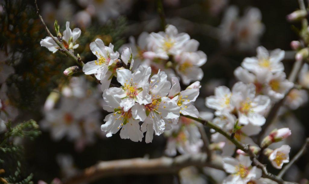 Tree blossoms on Jerusalem Israel