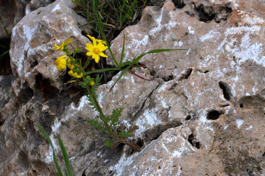 Jerusalem old stones with yellow flowers growing