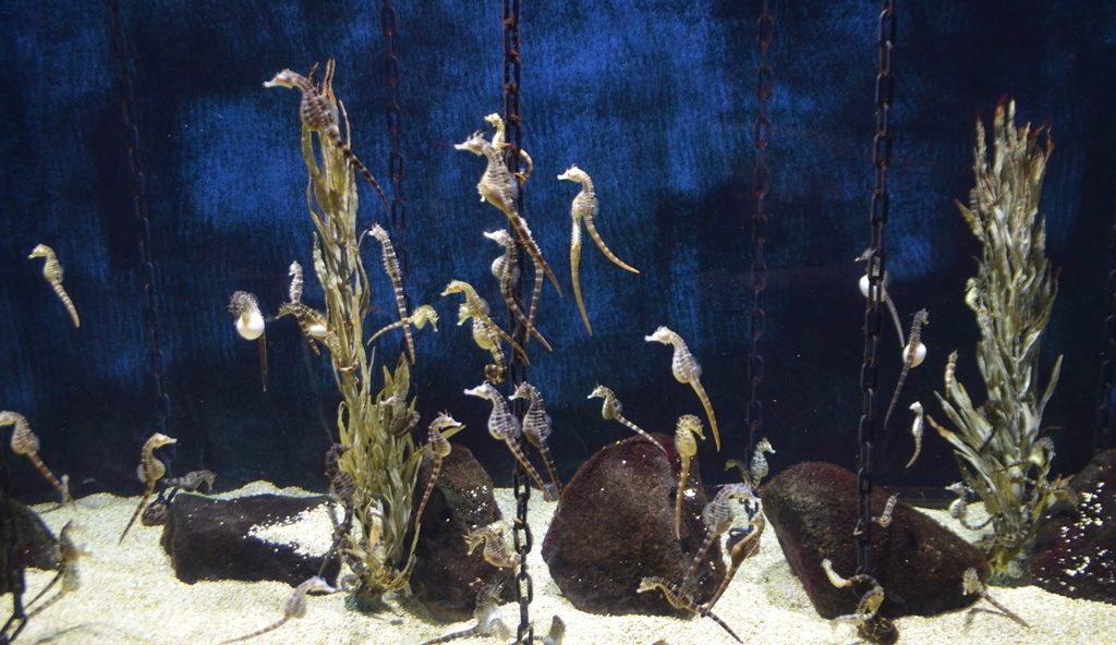 Sea Horses in Jerusalem Aquarium