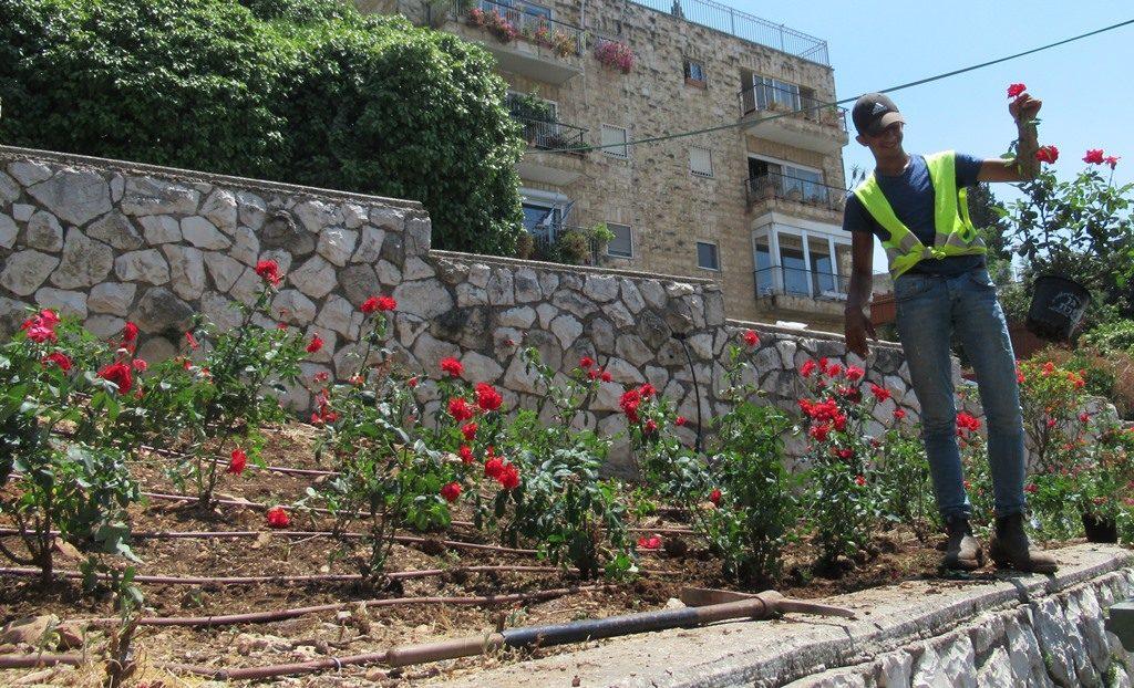 Gardner planting new roses in Jerusalem Israel