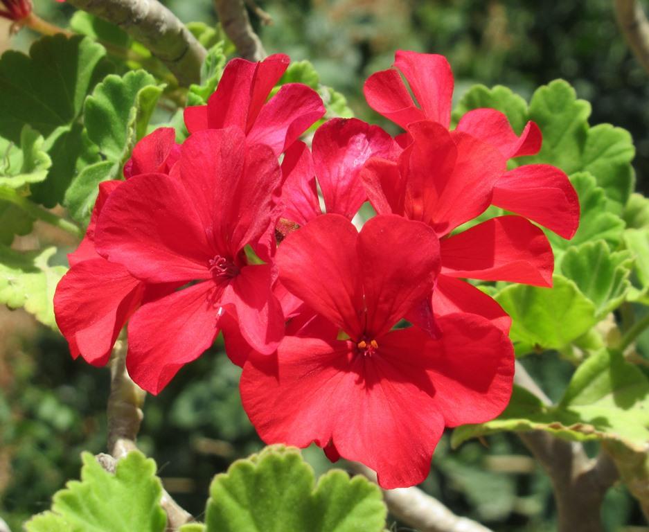 Red flower in Jerusalem in summer