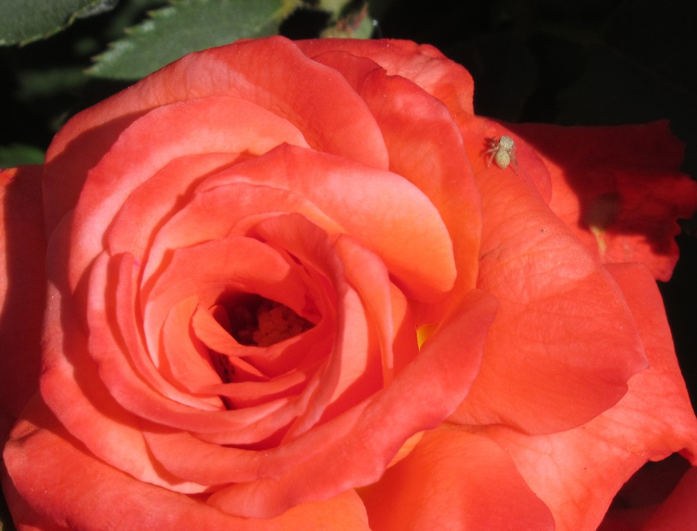 Closeup on a rose in full bloom with small insect